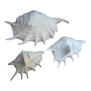 Spider Conch Seashells- Set of 3