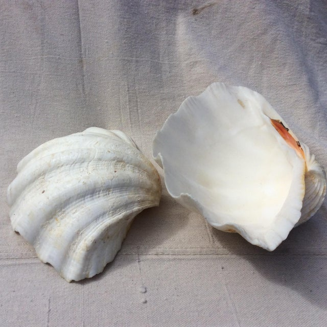 Two Large White Sea Shells - Image 7 of 8