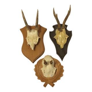 European Roe Deer Trophy Mount - Set of 3