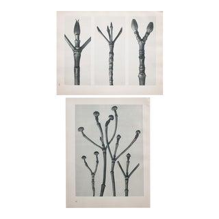 Karl Blossfeldt Double Sided Photogravure N15-16