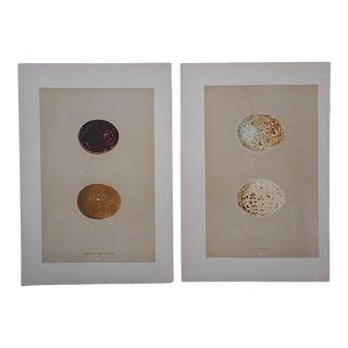 Antique Egg Lithographs-Set of 2-Buzzard Eggs