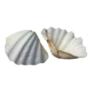 Two Large White Sea Shells