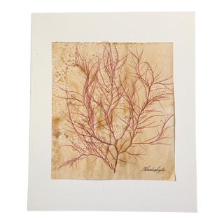 Blackwell Botanicals Natural Pressed Red Seaweed