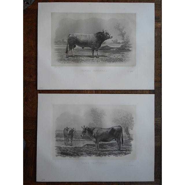 Antique Cow & Bull Engravings - Pair - Image 2 of 3