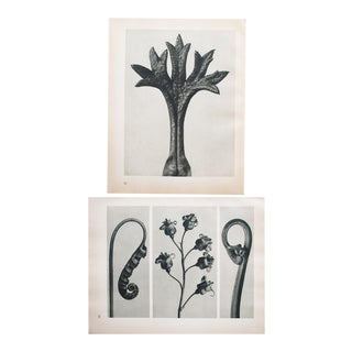 Karl Blossfeldt Double Sided Photogravure N31-32