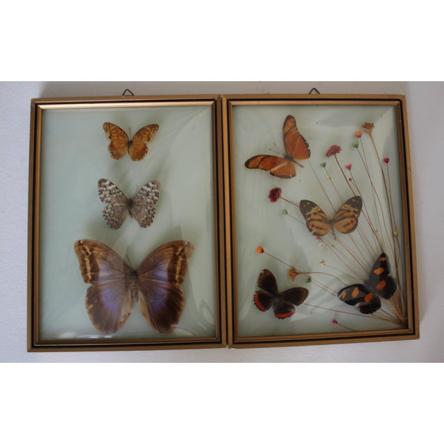 Mid-Century Butterfly Specimens - A Pair - Image 2 of 3
