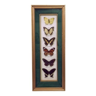 Taxidermy Butterfly Mount Insect Specimen