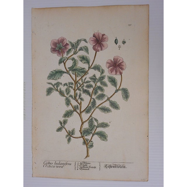 18th C. Botanical Engravings Folio Size- Set of 2 - Image 4 of 5