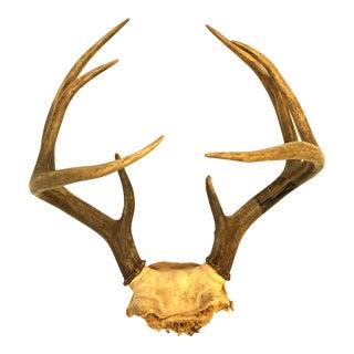 Rack of Whitetail Deer Antlers