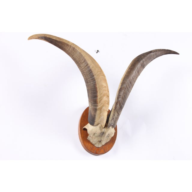 Mounted Norwegian Mountain Goat Horns - Image 3 of 3