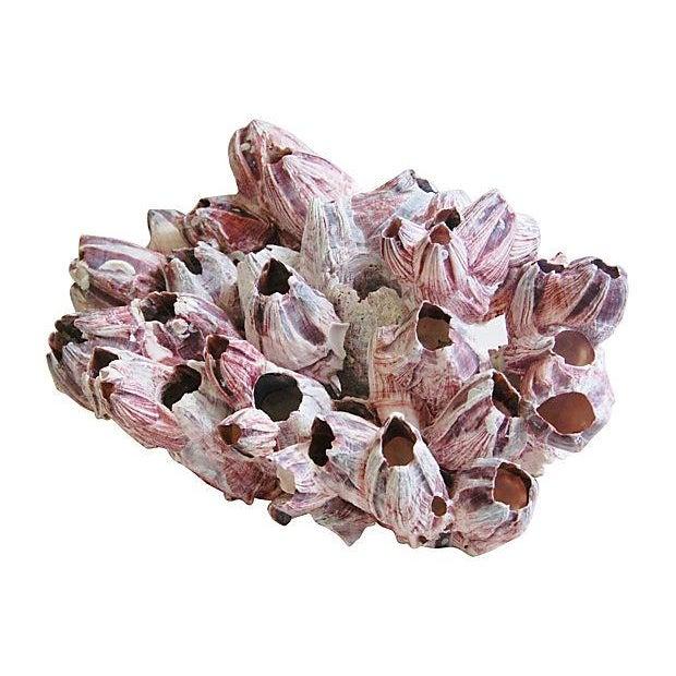 Large Natural Barnacle Cluster Specimen - Image 5 of 5