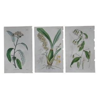 Antique Botanical Engravings - Set of 3