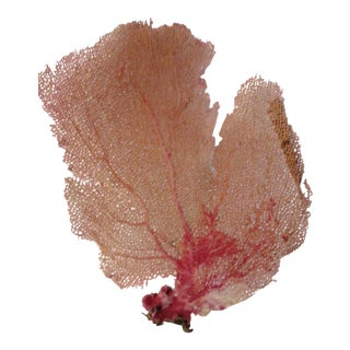 Natural Pink Sea Fan