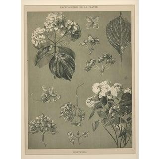 "M. Millard ""Hydrangea"" Art Nouveau Botanical Drawing, Circa 1902"