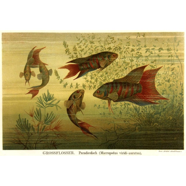 Image of 1894 Antique Paradise Fish Stone Lithograph