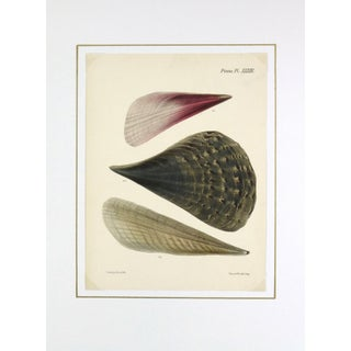 Antique Seashells Lithograph, 1878