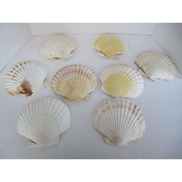Image of Natural Sea Shells - Set of 8