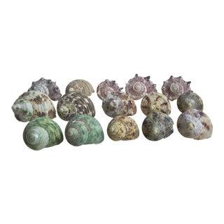 Natural Turban Seashells- Set of 15