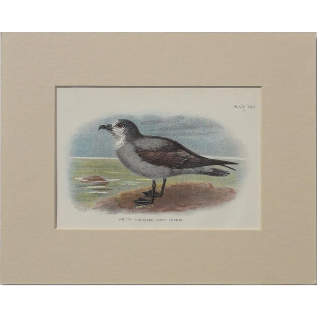Image of White Throated Grey Petrel Print, 1890