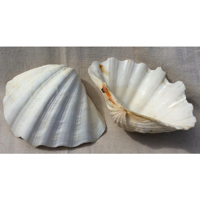 Two Large White Sea Shells - Image 2 of 8