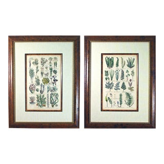 John Parkinson 17th Century Botanical Engravings of Mosses & Ferns - a Pair