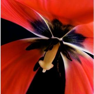 "Karen A Dombrowski-Sobel ""Inside Tulip"" Photograph"