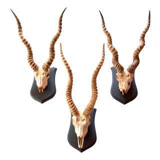 Mounted Blackbuck Horns With Skulls - Set of 3